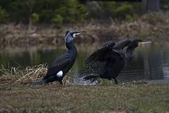 Grand cormoran  (phalacrocoracidés)-1-1200x800  px-05-04-18