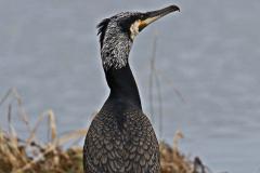Grand cormoran (phalacrocoracidés) -2-1200x800  px-05-04-18
