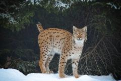 Lynx-7-973x800 px-11-02-2021