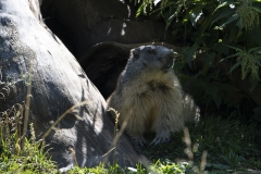 Marmotte (Marmota marmota)-0-1200x800  px -16-08-18
