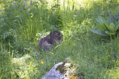 Marmotte (Marmota marmota)-0-1200x800  px-23-06-16