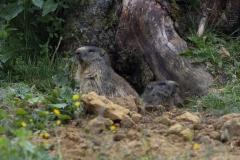 Marmotte (Marmota marmota)-1-1200x800  px-02-07-17