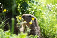 Marmotte (Marmota marmota)-1-1200x800  px-23-06-16