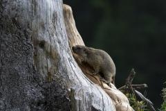 Marmotte (Marmota marmota)-1-1200x800  px-23-08-17