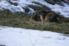 Marmotte (Marmota marmota)-1-1200x800  px-29-04-16