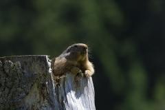 Marmotte (Marmota marmota)-1-1200x800  px-29-07-16