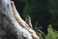 Marmotte (Marmota marmota)-3-1200x800  px-23-08-17