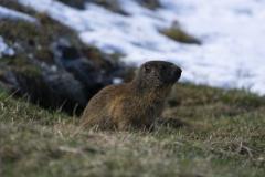 Marmotte (Marmota marmota)-3-1200x800  px-29-04-16