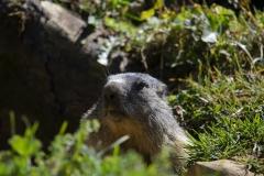 Marmotte (Marmota marmota)-4-1200x800  px-29-07-16