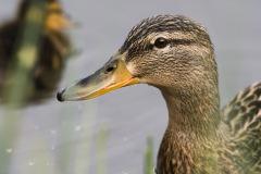 Canard-Colvert-femelle- (Anatidés)-0-1200x800-px-10-05-2020