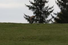 Renard (Vulpes vulpes)-0-1200x800  px-20-10-17