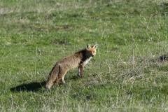 Renard (Vulpes vulpes)-0-1200x800  px-29-04-16