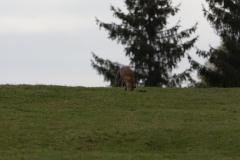 Renard (Vulpes vulpes)-2-1200x800  px-20-10-17