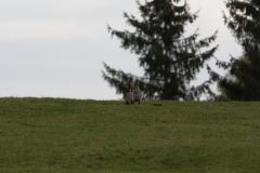 Renard (Vulpes vulpes)-3-1200x800  px-20-10-17